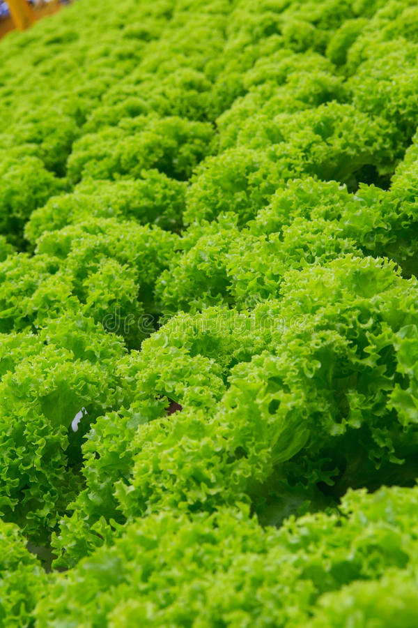 Vegetables hydroponics farm. Cameron Malaysia stock photos