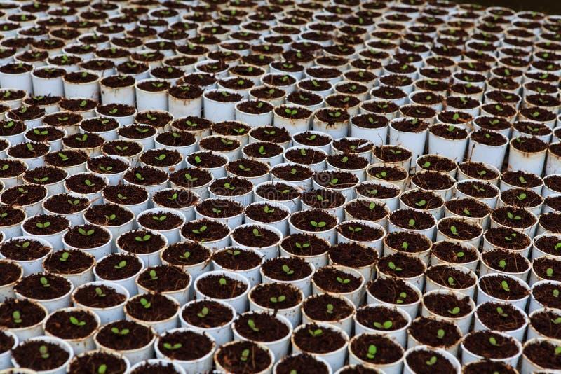 Vegetables hydroponics farm. Cameron Malaysia stock photography