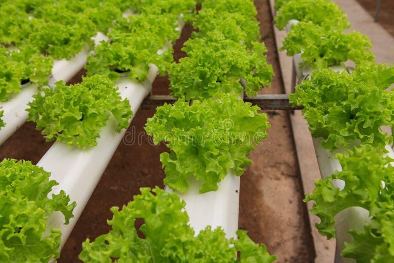 Vegetables hydroponics farm. Cameron Malaysia royalty free stock image