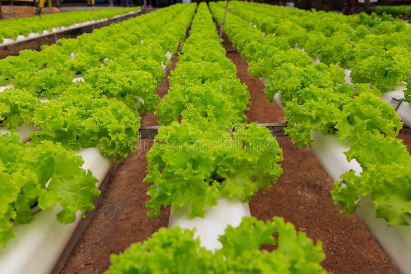 Vegetables hydroponics farm. Cameron Malaysia stock photo