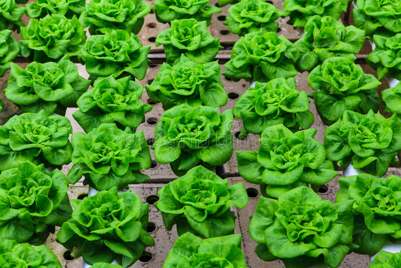 Vegetables hydroponics farm. Cameron Malaysia stock image