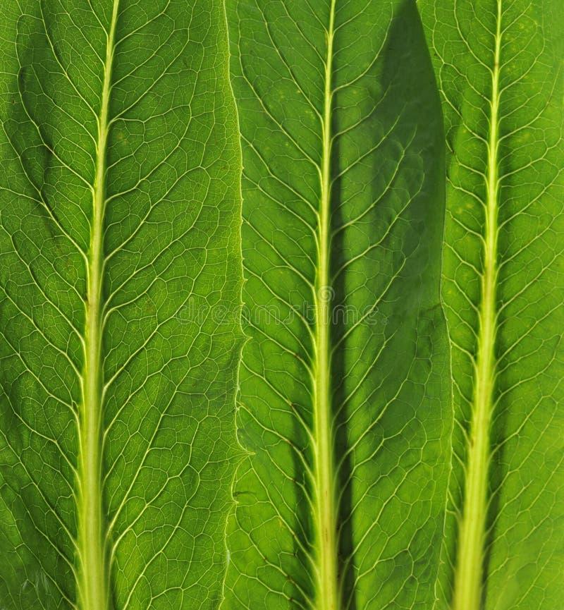 Vegetables leaf royalty free stock photo