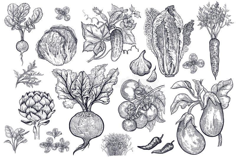 Vegetables vector set. stock illustration