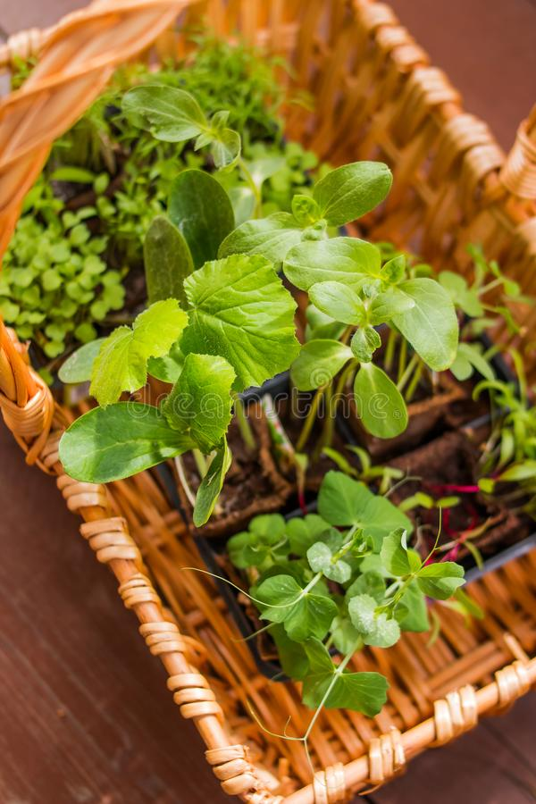Vegetables Seedlings in peat tablet pot Small plant of cucumber and pea. Germination of seeds in the garden stock photography