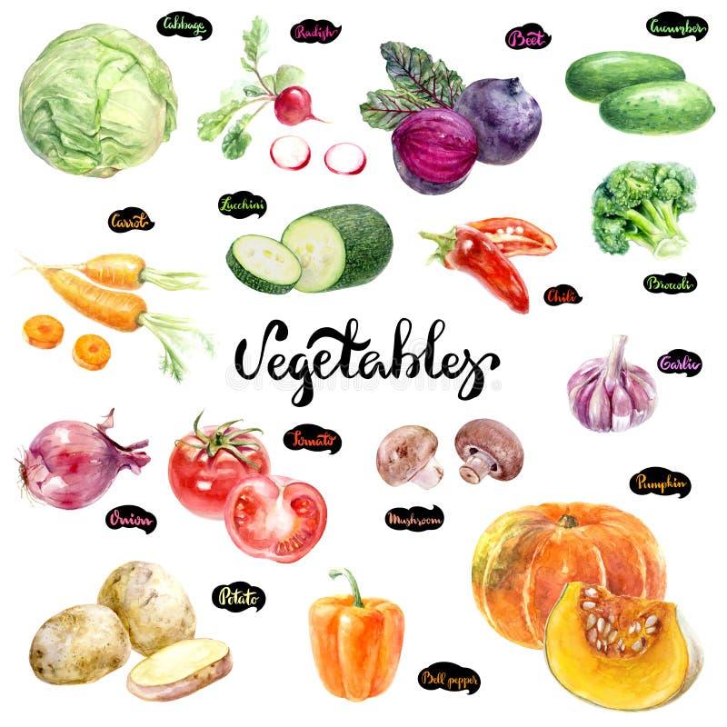 Vegetables set watercolor illustration. vector illustration