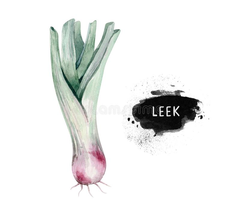 Vegetables vitamin healthy green organic hand drawn watercolor diet menu with leek fresh illustration. Isolated on white vector illustration