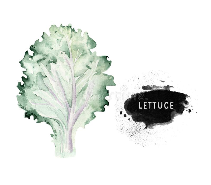 Vegetables vitamin healthy green organic hand drawn watercolor diet menu with lettuce fresh illustration. Isolated on. White sketch stock image