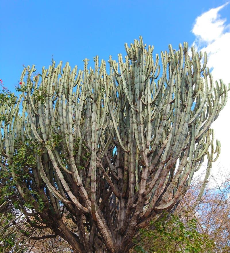 Vegetación enorme de la planta del cactus para los fondos imagen de archivo libre de regalías