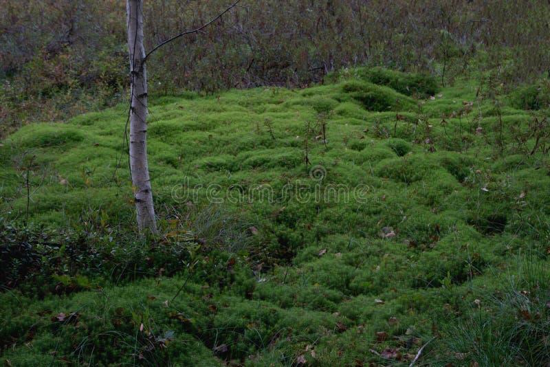 Vegetación verde blanda en las colonias del musgo del bosque fotos de archivo libres de regalías