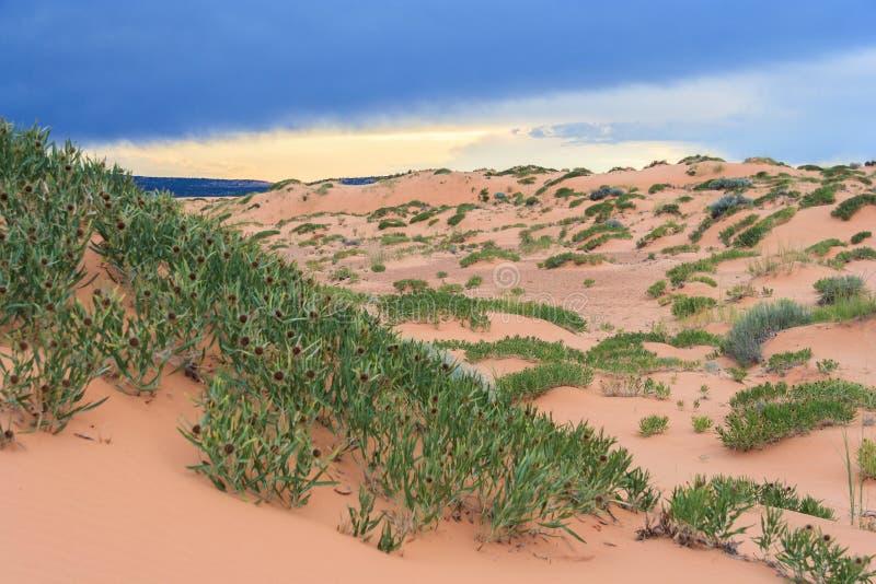 Vegetación verde del desierto en el parque de Coral Pink Sand Dunes State en Utah en la puesta del sol imagen de archivo