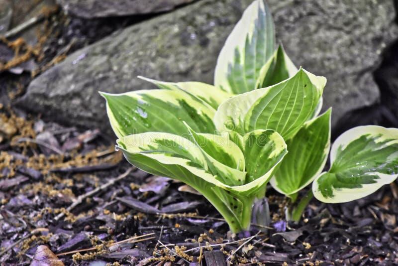 Vegetaci?n, Hostas, variados, sombra tolerante fotografía de archivo