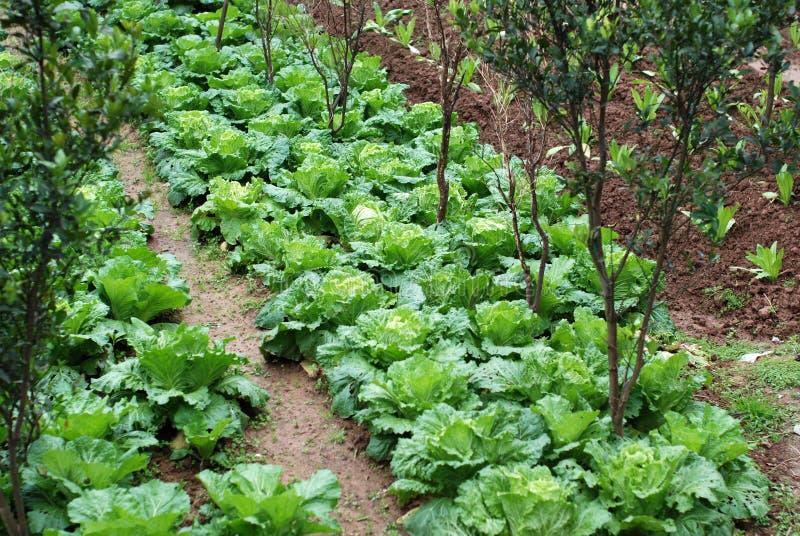 Vegetais crescentes fotos de stock