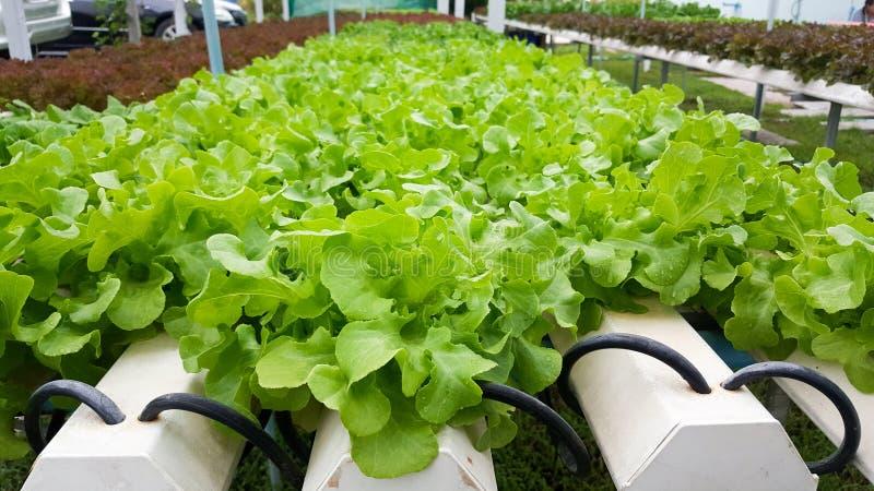 Vegetais crescentes hidropônicos orgânicos dos verdes fotos de stock