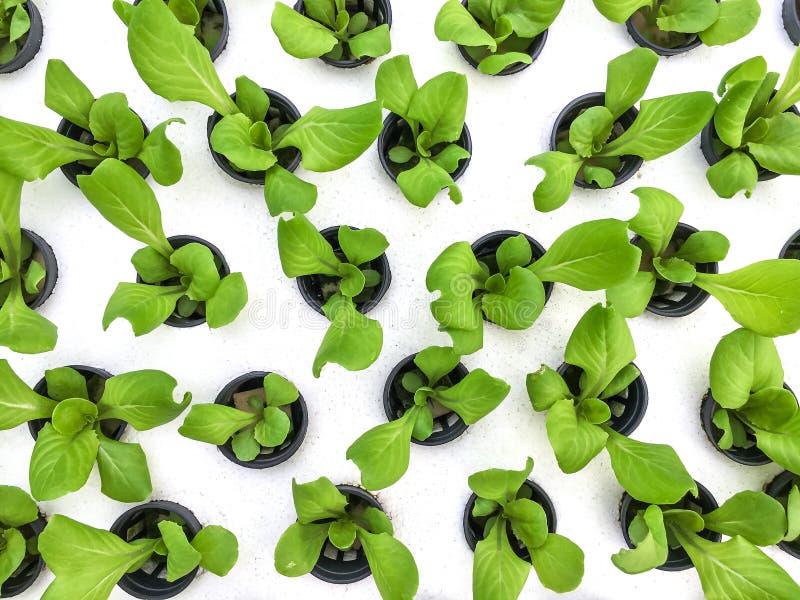 Vegetais crescentes sem solo fotos de stock