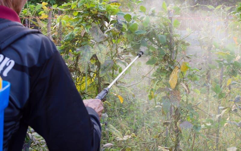 Vegetais de pulverização do homem no jardim imagem de stock royalty free
