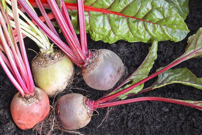 Vegetais de raiz orgânicos recentemente escolhidos imagens de stock