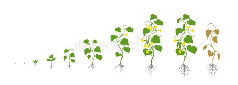 Vegetais dos pepinos com folhas e flores Fases do crescimento Ilustração do vetor Cucumis sativus Período de amadurecimento O cic ilustração stock