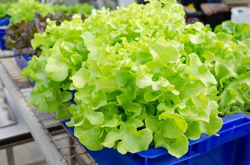 Vegetais HIDROPÔNICOS crescidos fotos de stock