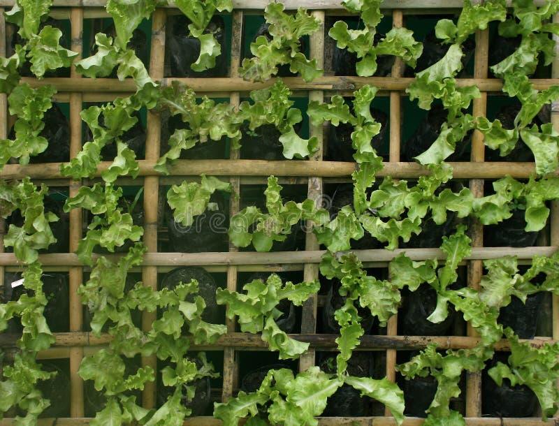Vegetais hidropônicos orgânicos imagem de stock royalty free