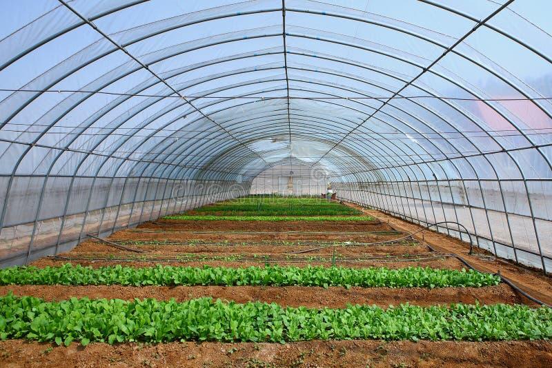 Vegetais nas estufas imagem de stock royalty free