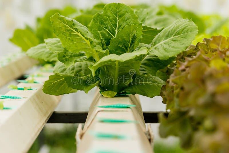 Vegetais orgânicos crescentes imagens de stock