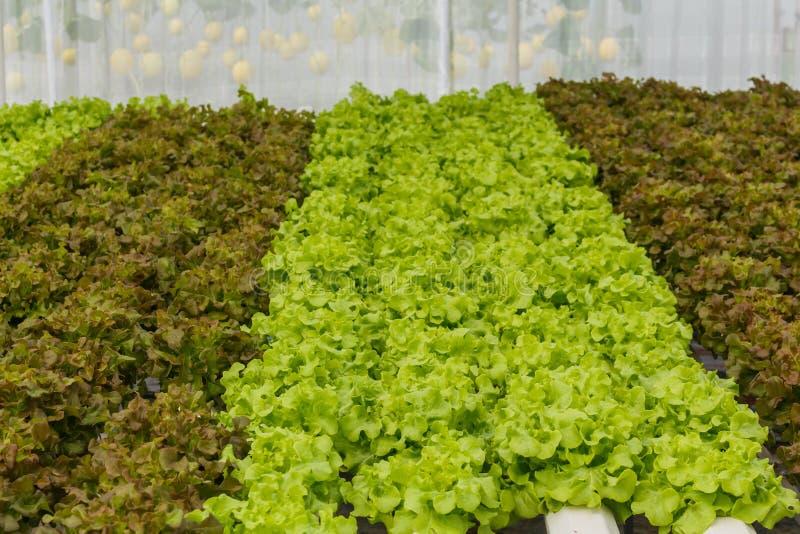 Vegetais orgânicos crescentes fotos de stock royalty free