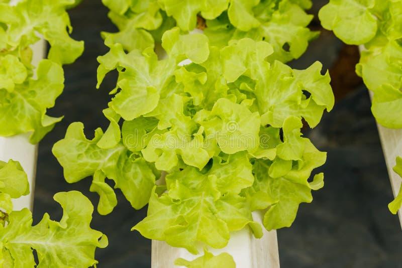 Vegetais orgânicos crescentes fotos de stock