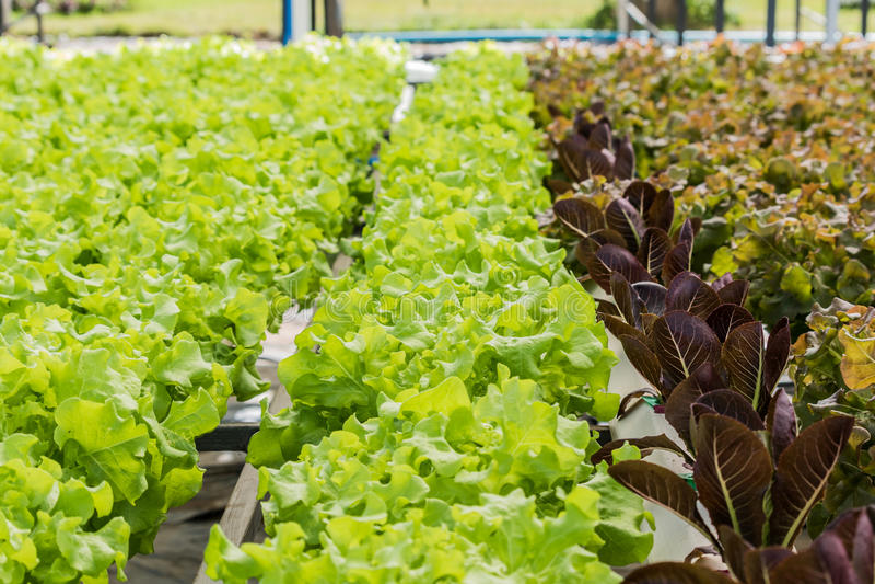 Vegetais orgânicos crescentes sem solo no jardim imagens de stock royalty free