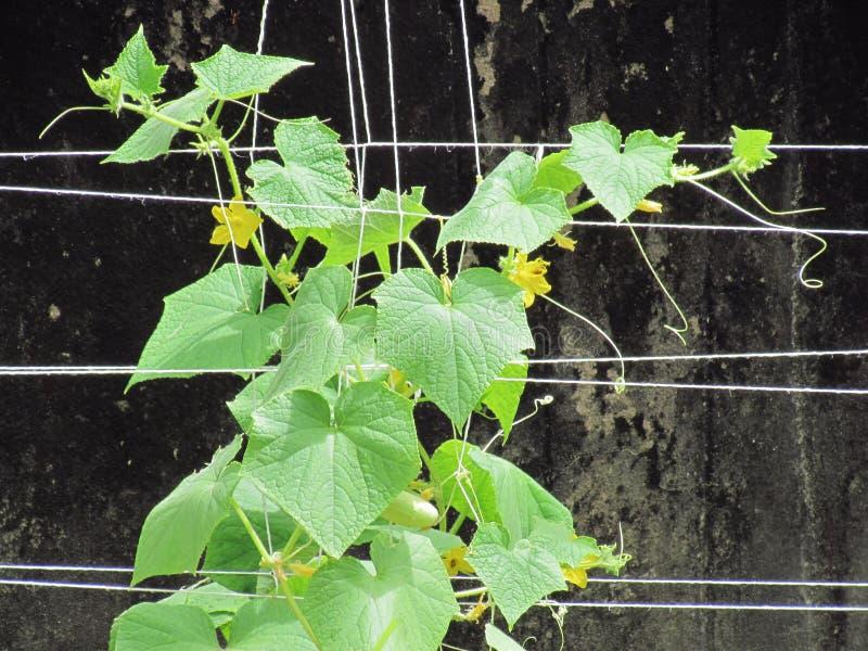 Vegetais orgânicos, plantação vertical dos pepinos frescos com yello foto de stock