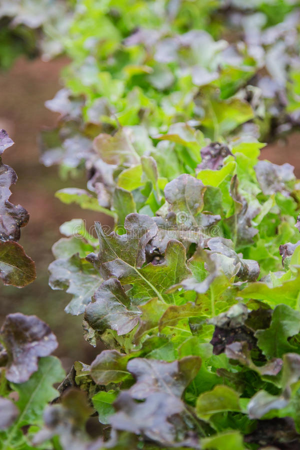 Vegetais verdes, crescimento orgânico sem solo imagens de stock royalty free