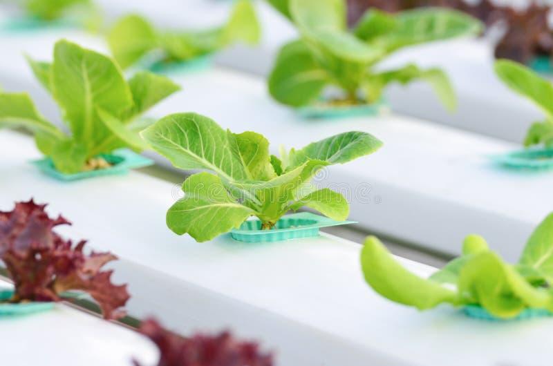 Vegetal da hidroponia fotografia de stock royalty free