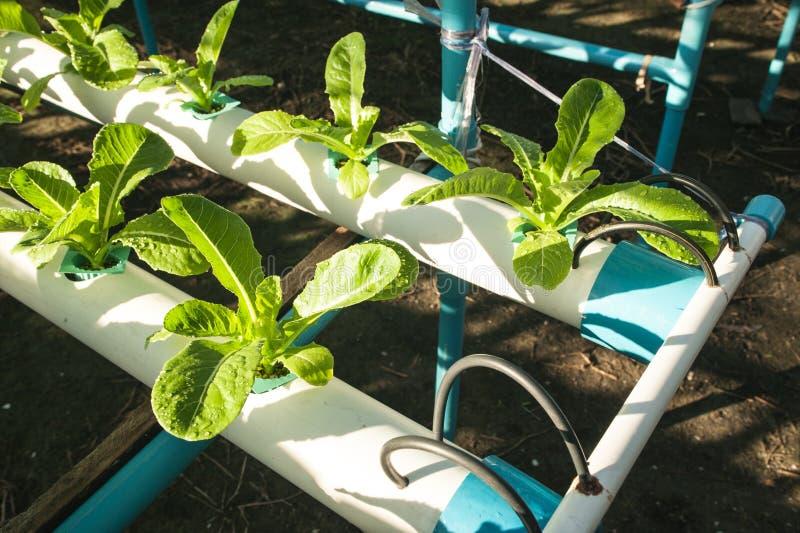 Vegetal da hidroponia do cultivo na exploração agrícola imagens de stock