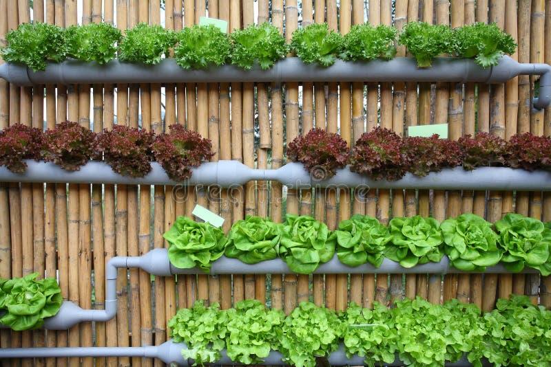 Vegetal de salada hidropónico. imagem de stock