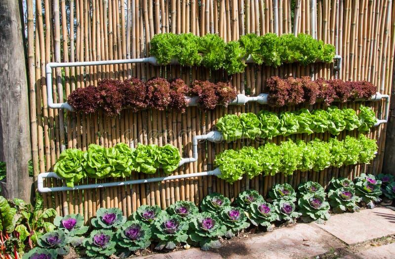 Vegetal de salada hidropônico imagem de stock royalty free