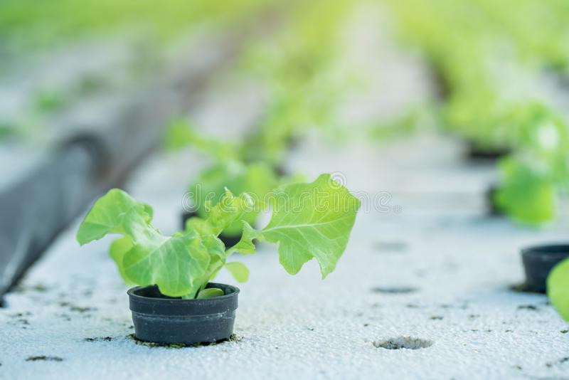 Vegetal de salada orgânico hidropônico verde fotos de stock royalty free