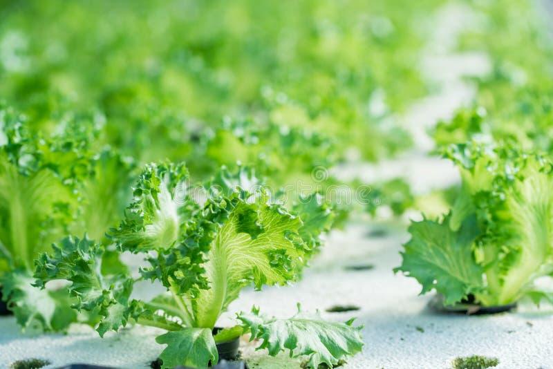 Vegetal de salada orgânico hidropônico verde imagem de stock royalty free