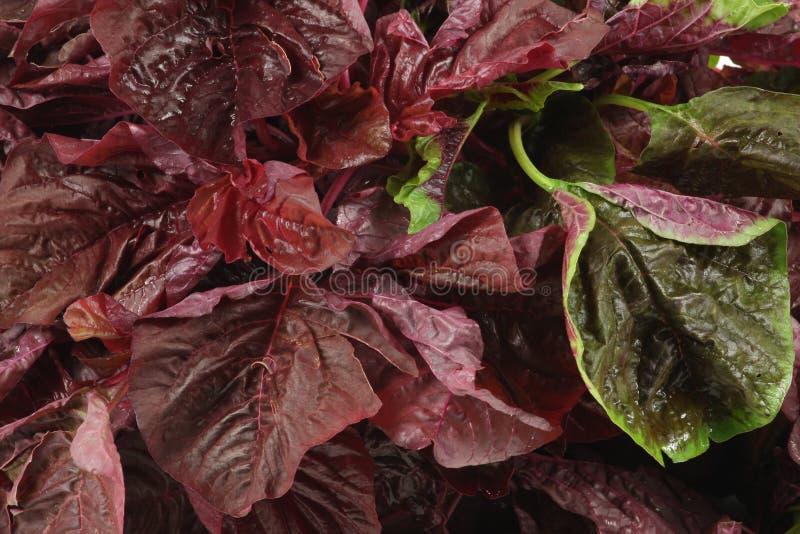 Vegetal do amaranto imagem de stock royalty free