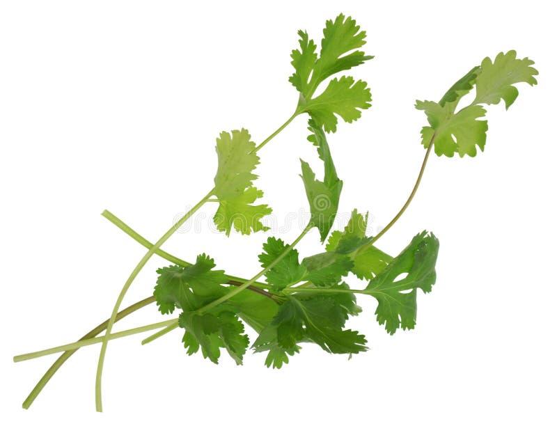 Vegetal do Cilantro imagem de stock