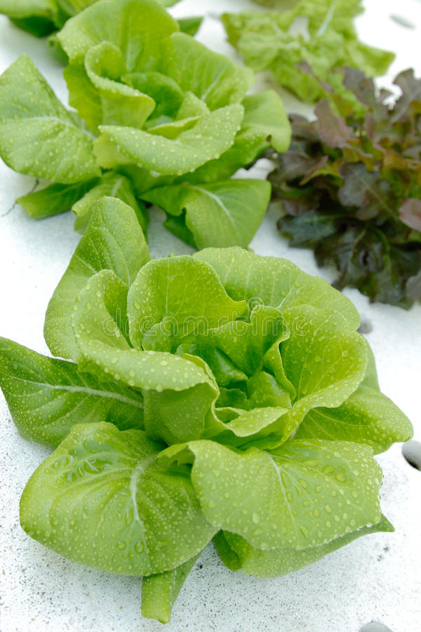 Vegetal do Hydroponics foto de stock royalty free