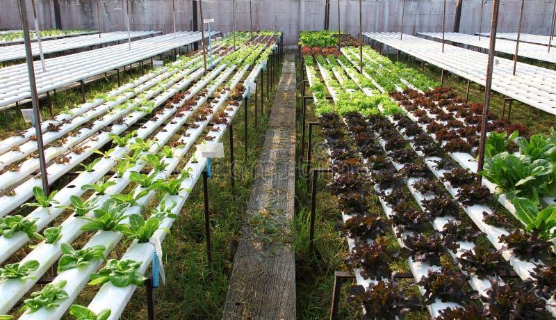 Vegetal do Hydroponics imagem de stock