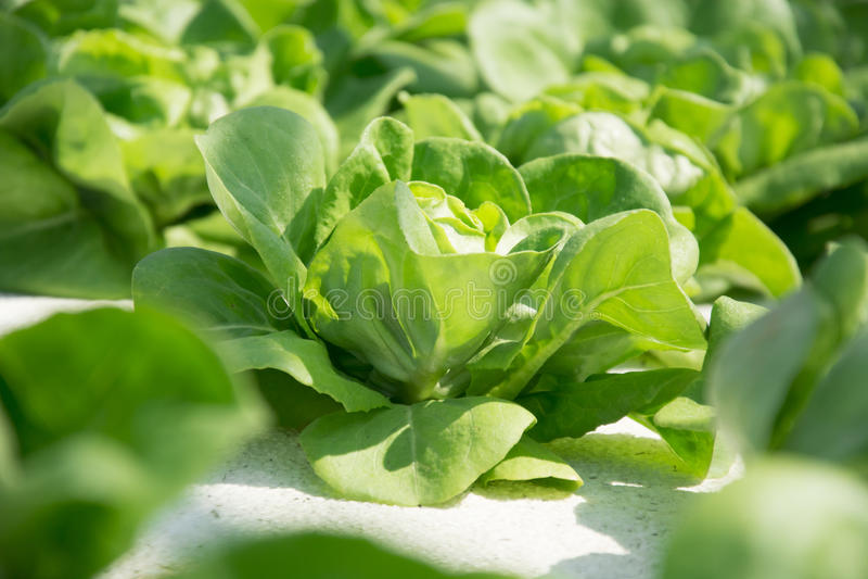 Vegetal hidropônico imagens de stock royalty free