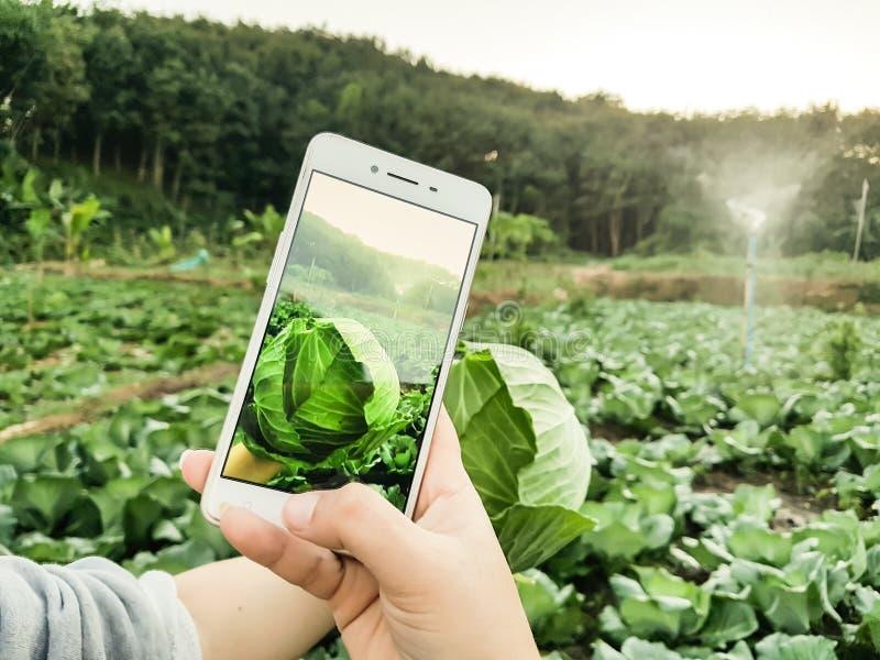 Vegetal novo da foto de Taking do fazendeiro no telefone celular, exploração agrícola esperta moderna orgânica 4 de Eco 0 conceit foto de stock royalty free