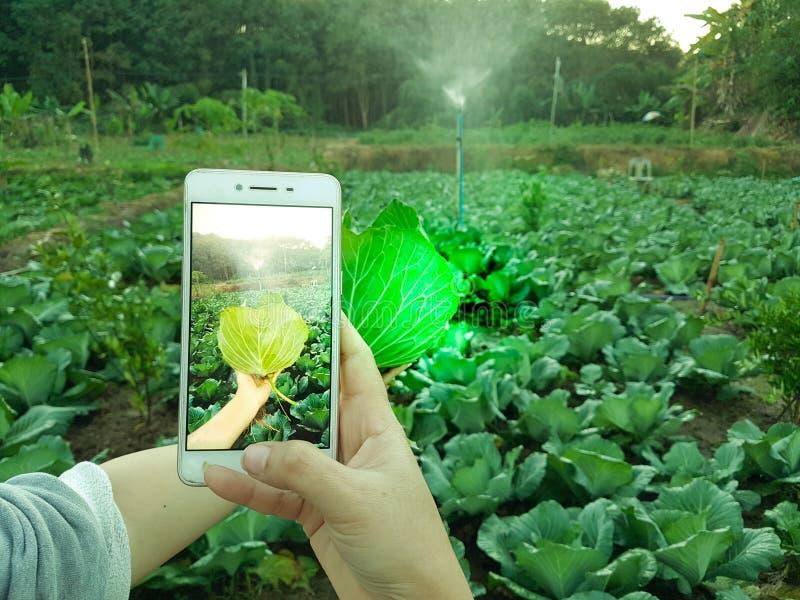 Vegetal novo da foto de Taking do fazendeiro no telefone celular, exploração agrícola esperta moderna orgânica 4 de Eco 0 conceit imagem de stock