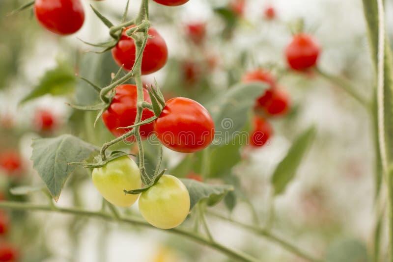 Vegetal orgânico dos tomates de cereja fotos de stock royalty free