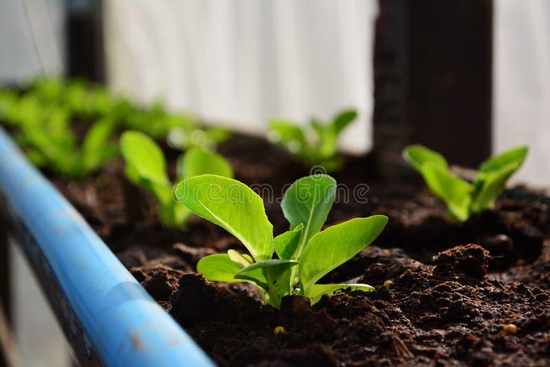 Vegetal verde da hidroponia de cos fotos de stock royalty free