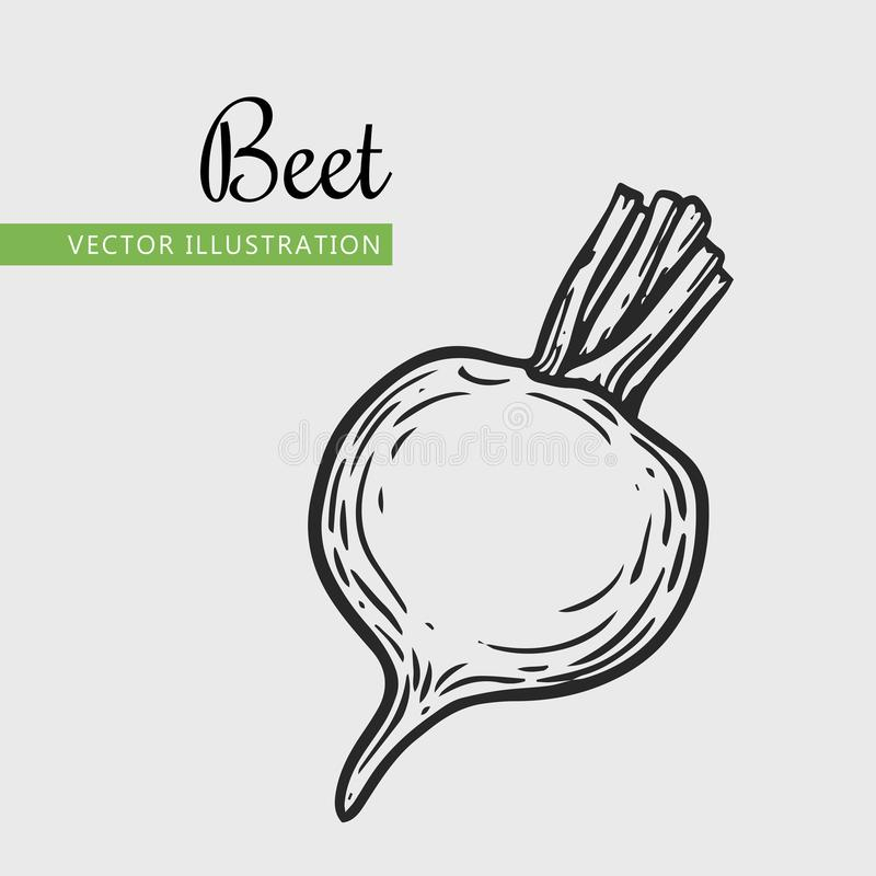 Beetroot. Vegetarian food. Hand drawn beetroot. Vector vintage vegetables illustration. Can be used for wrapping paper, street festival, farmers market, country royalty free illustration
