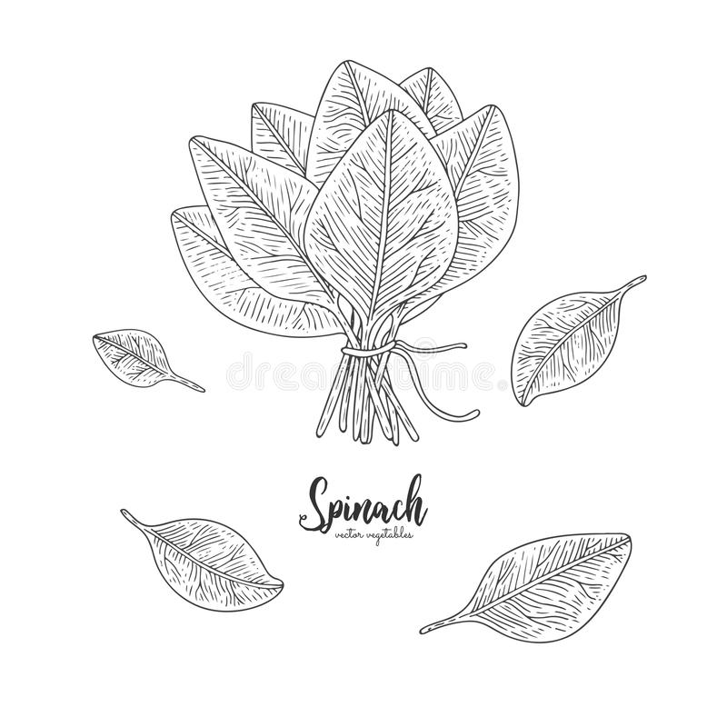 Vegetarian food. Hand drawn isolated spinach. Vector vintage vegetables illustration. Detailed vegetarian food drawing. Farm marke vector illustration