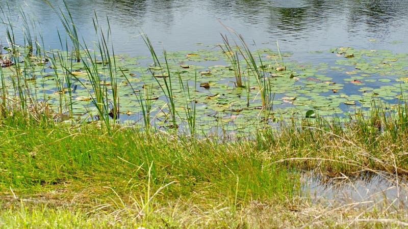 Vegetation in den Sumpfgebieten stockfotos