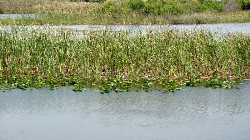 Vegetation in den Sumpfgebieten stockfoto
