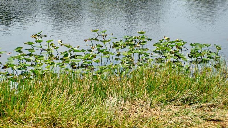 Vegetation in den Sumpfgebieten lizenzfreie stockfotografie
